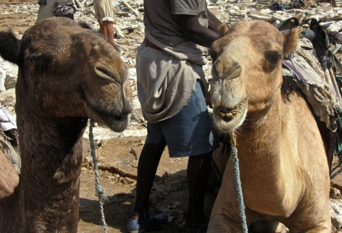 Danakil Camels with Salt miners